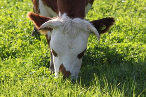 Tiere Ziegen +Kühe 2012 045
