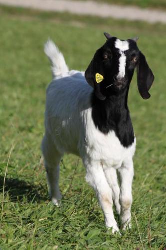 Tiere Ziegen +Kühe 2012 074