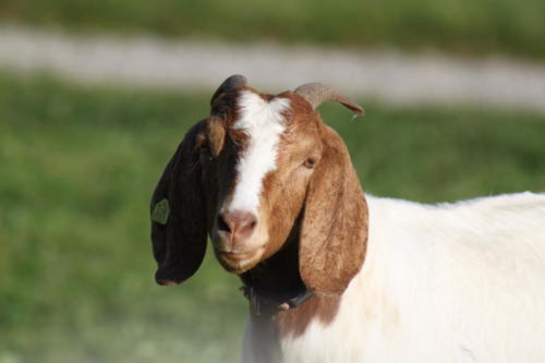 Tiere Ziegen +Kühe 2012 082