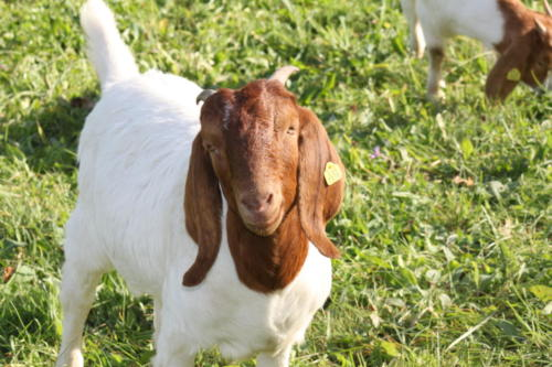 Tiere Ziegen +Kühe 2012 097