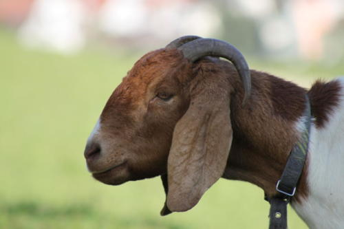 Tiere Ziegen +Kühe 2012 127