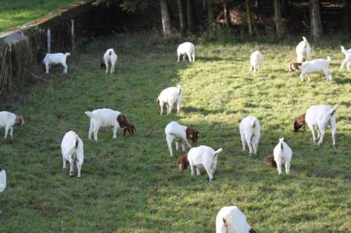 Tiere Ziegen +Kühe 2012 138